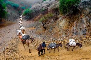Danakil_Camellos