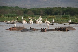 hipopotamos_nechisar_lake